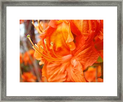 Rhodies Art Prints Orange Rhododendron Flowers Baslee Troutman Framed Print by Baslee Troutman