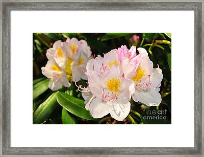 Rhododendron Framed Print by Catherine Reusch  Daley