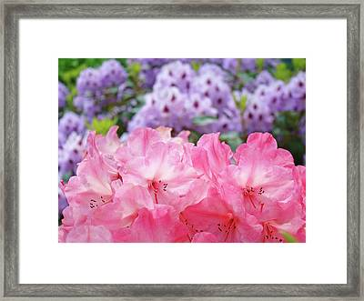 Rhododendron Floral Garden Art Prints Pink Purple Rhodies Framed Print by Baslee Troutman