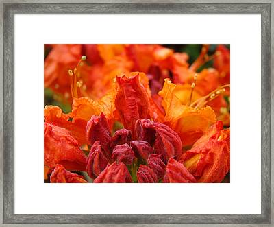 Rhododendron Flower Art Prints Macro Rhodies Baslee Troutman Framed Print by Baslee Troutman