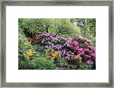 Rhododendron Hill Framed Print by Carol Groenen