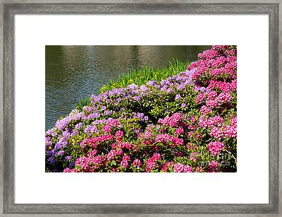 Rhododendron Or Azalea Luxuriant Park In Warsaw  Framed Print by Arletta Cwalina