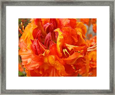 Rhododendrons Art Prints Floral Orange Rhodies Baslee Troutman Framed Print by Baslee Troutman