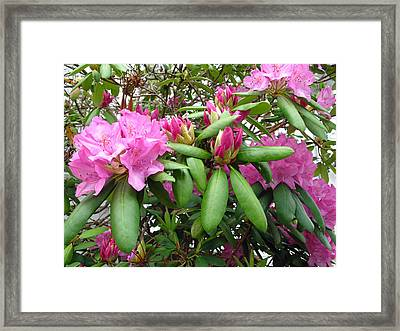 Rhododendrons Blooming Framed Print by Barbara McDevitt