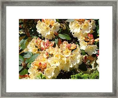 Rhododendrons Garden Art Prints Creamy Yellow Orange Rhodies Baslee Framed Print by Baslee Troutman