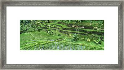 Rice Oryza Sativa Paddy In The Ubud Framed Print by Cyril Ruoso