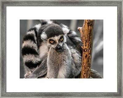 Ring Tailed Lemur Framed Print by Jim Hughes