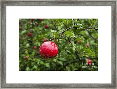 Ripe Apples. Framed Print by John Greim