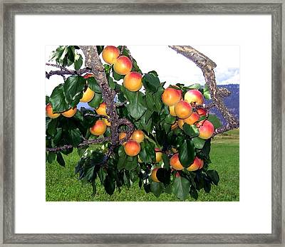 Ripe Apricots Framed Print by Will Borden