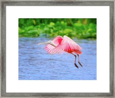 Rise Of The Spoonbill Framed Print by Mark Andrew Thomas