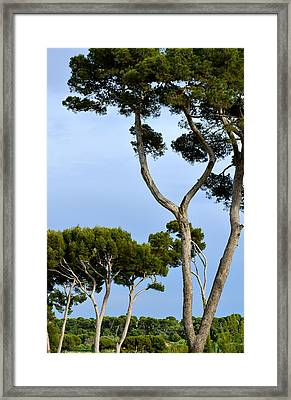 Riviera Trees Framed Print by Corinne Rhode