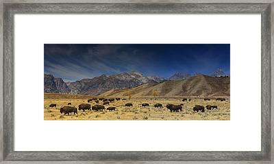 Roaming Bison Framed Print by Mark Kiver