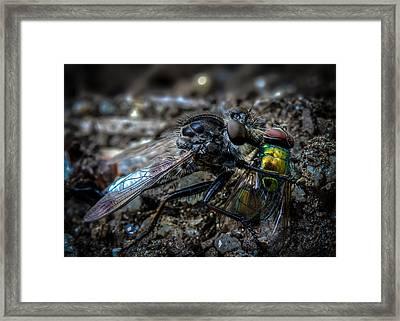 Robber Fly Eating Green Bottle Fly Framed Print by Bob Orsillo