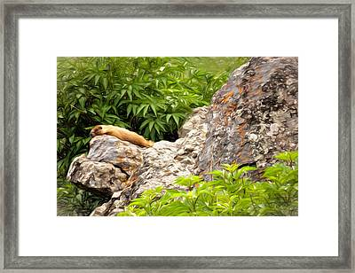 Rock Chuck Framed Print by Lana Trussell