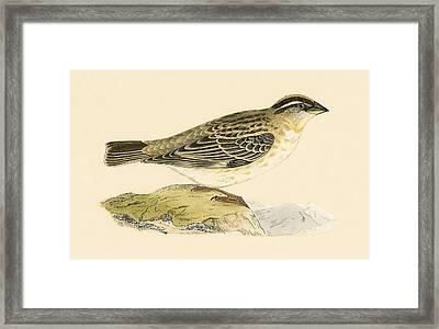 Rock Sparrow Framed Print by English School