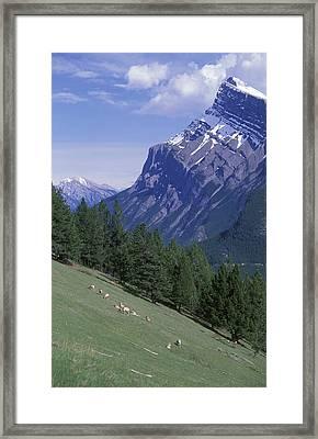 Rocky Mountain Bighorn Sheep Ovis Framed Print by Rich Reid