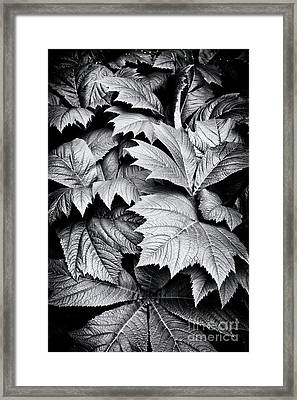 Rodgersia Podophylla Framed Print by Tim Gainey