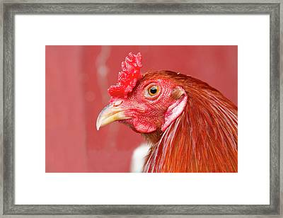 Rooster Close-up On A Reddish Background Framed Print by James BO  Insogna