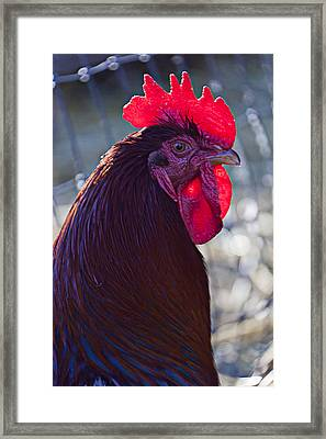 Rooster With Bright Red Comb Framed Print by Garry Gay