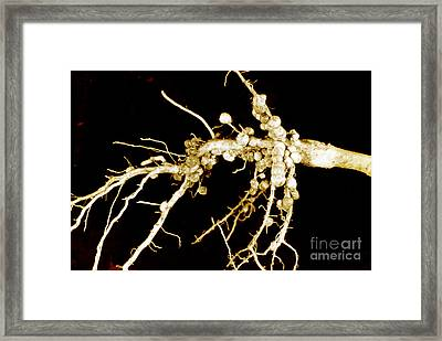 Root Nodules On Soya Plant Framed Print by Scimat
