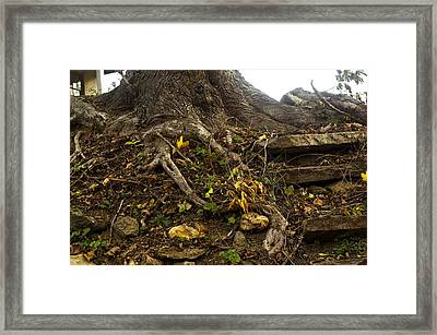 Rooted In Time Framed Print by Susan Maxwell Schmidt