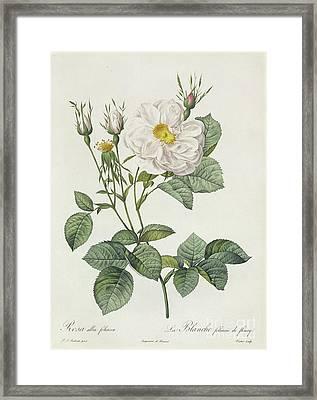 Rosa Alba Foliacea Framed Print by Pierre Joseph Redoute