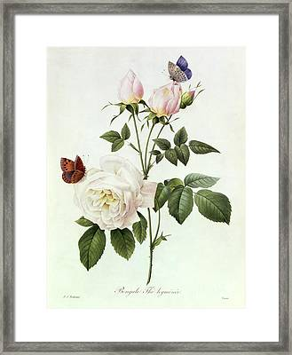 Rosa Bengale The Hymenes Framed Print by Pierre Joseph Redoute