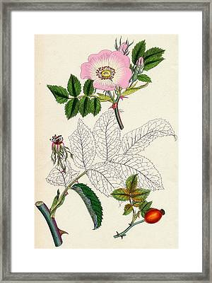 Rosa Canina Common Dog Rose Framed Print by Unknown