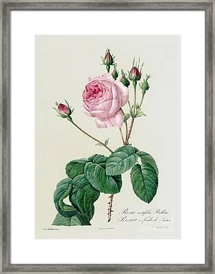 Rosa Centifolia Bullata Framed Print by Pierre Joseph Redoute