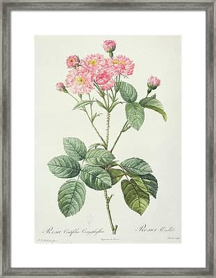 Rosa Centifolia Caryophyllea Framed Print by Pierre Joseph Redoute