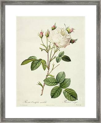 Rosa Centifolia Mutabilis Framed Print by Pierre Joseph Redoute