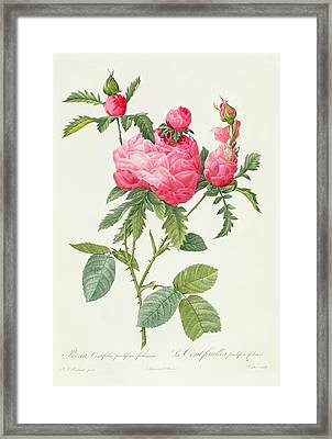 Rosa Centifolia Prolifera Foliacea Framed Print by Pierre Joseph Redoute