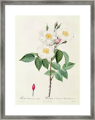 Rosa Damascena Subalba Framed Print by Pierre Joseph Redoute