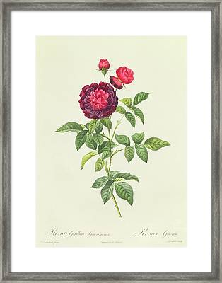 Rosa Gallica Gueriniana Framed Print by Pierre Joseph Redoute