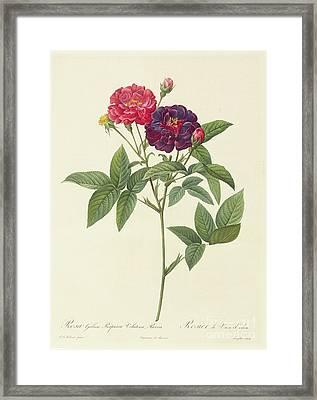 Rosa Gallica Purpurea Velutina Framed Print by Pierre Joseph Redoute