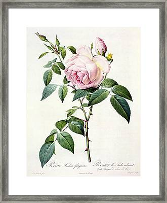 Rosa Indica Fragrans Framed Print by Pierre Joseph Redoute