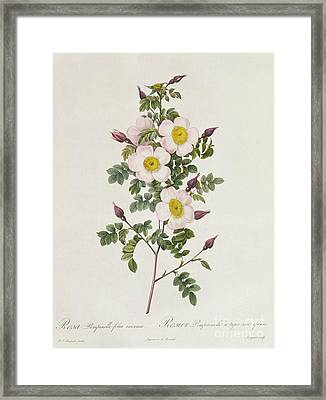 Rosa Pimpinelli Folia Inermis Framed Print by Pierre Joseph Redoute