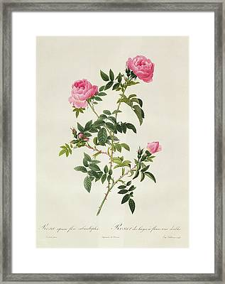 Rosa Sepium Flore Submultiplici Framed Print by Pierre Joseph Redoute