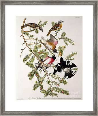 Rose Breasted Grosbeak Framed Print by John James Audubon