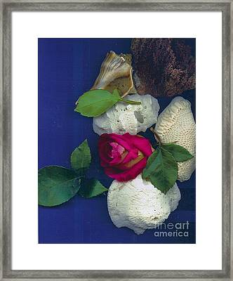 Rose Corals Shell Framed Print by Leonor Shuber