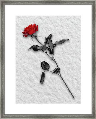 Rose In Snow Framed Print by Wim Lanclus