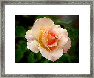 Rose Is A Rose Is A Rose Framed Print by Christine Till