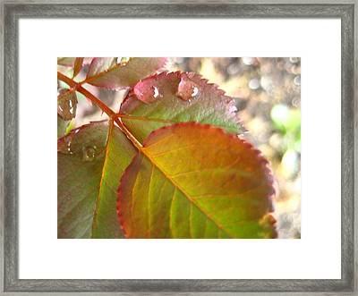 Rose Leaves Framed Print by Shirley Sirois
