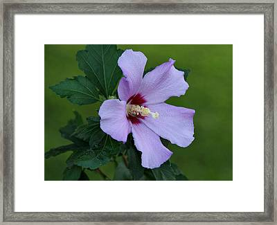 Rose Of Sharon Framed Print by Sandy Keeton