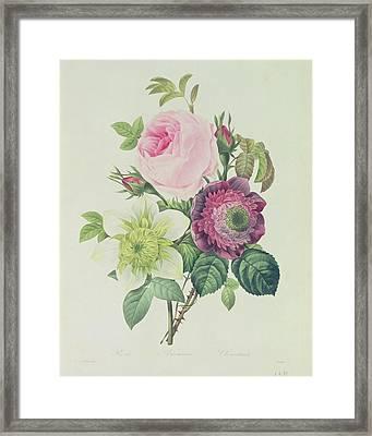 Rose Framed Print by Pierre Joseph Redoute