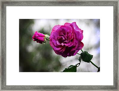 Rose Swaying In The Drizzle Framed Print by Chelsea V