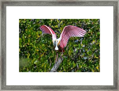 Roseate Spoonbill Wings Spread Framed Print by Alan Lenk