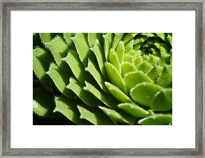 Rosette Framed Print by Lisa Knechtel