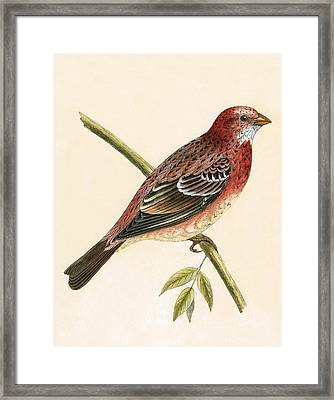 Rosy Bullfinch Framed Print by English School