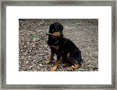 Rottweiler Dog Holding Stick In Mouth Framed Print by Sally Weigand